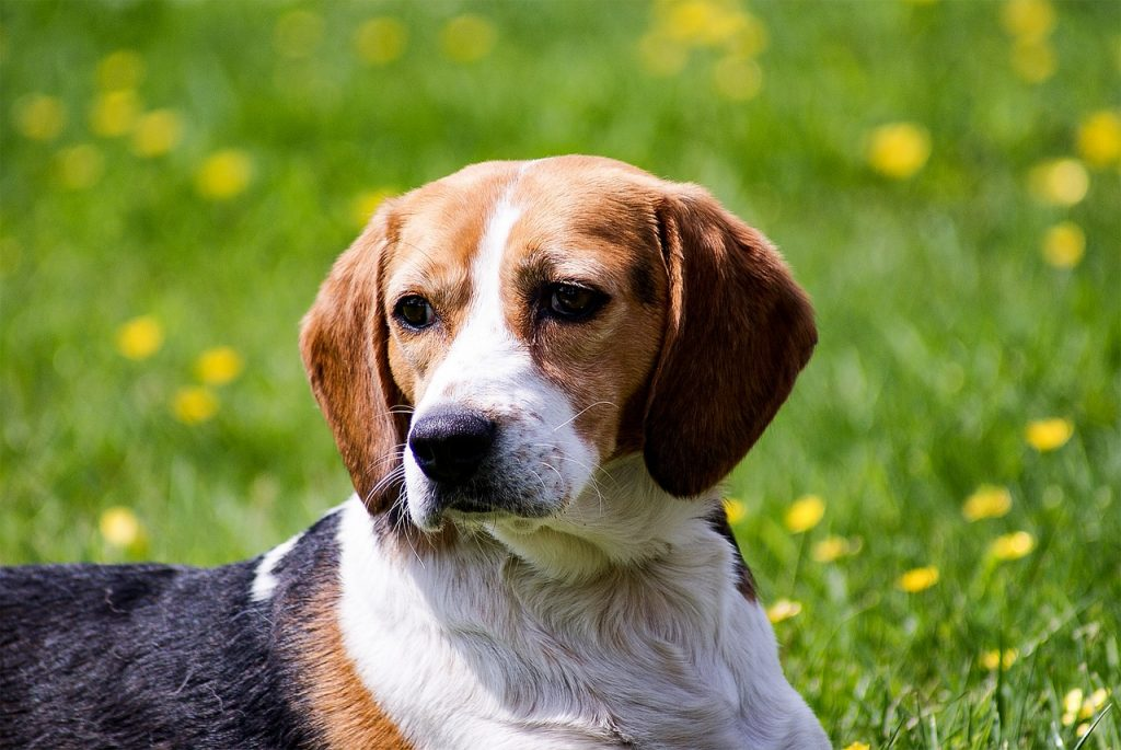 Beagle with ear infection