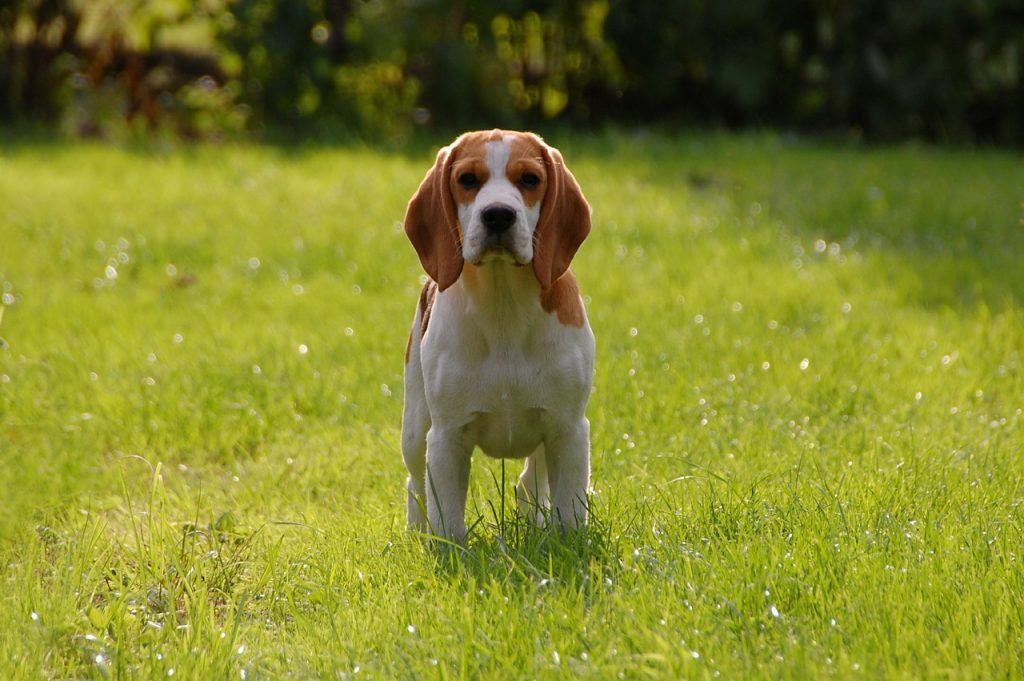 Beagle pup with ear infection
